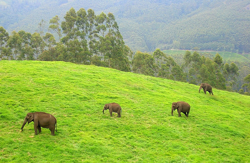 Elephants wander around the hills.