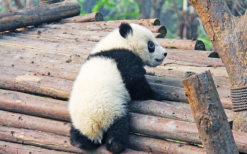 giant panda(1).jpg