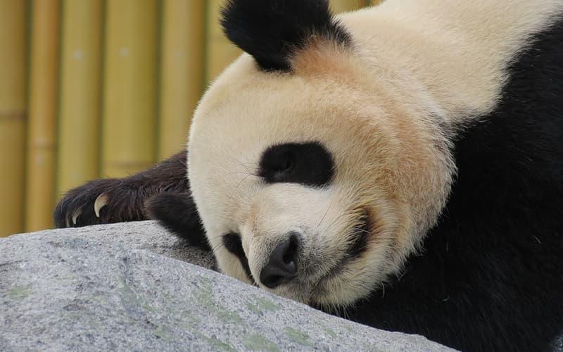 giant panda2.jpg