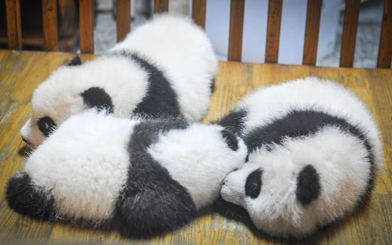 giant panda9.jpg