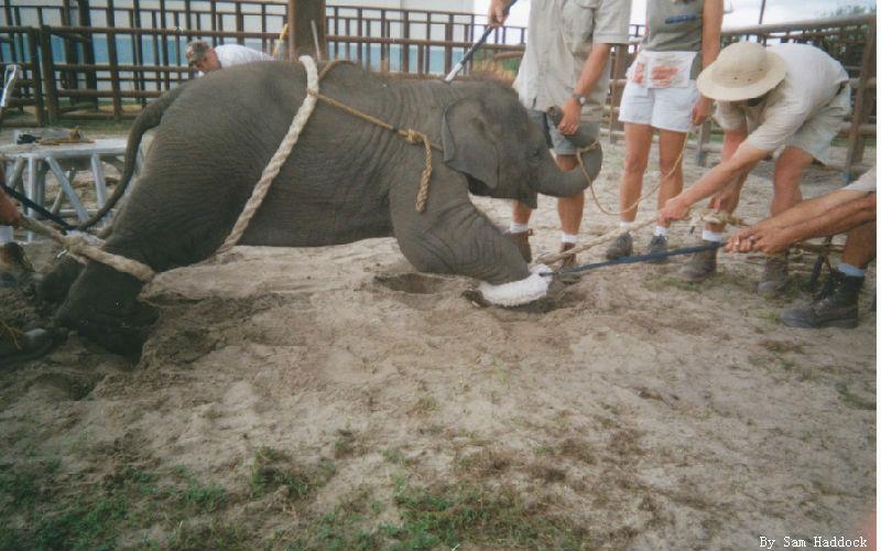 Circus baby elephant training.