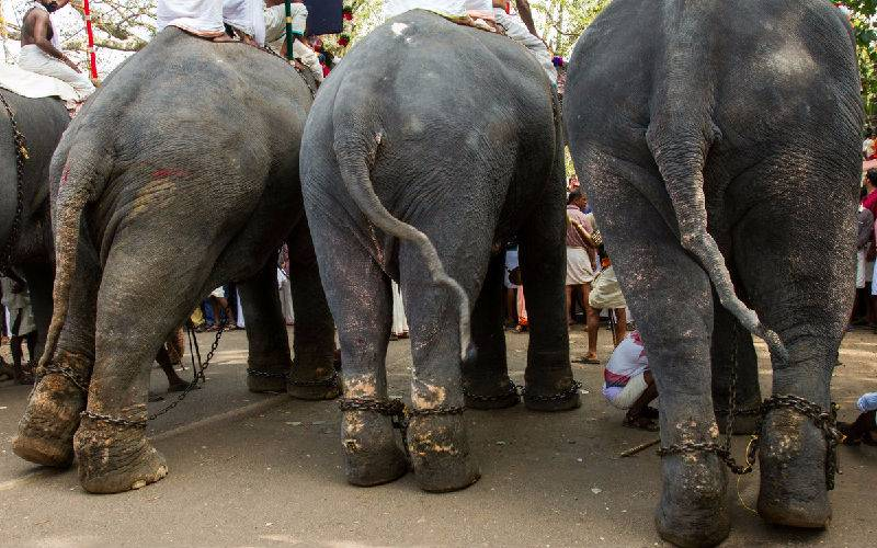 Elephants are wearing chains on their scarred feet.