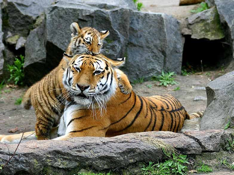 Sri Racha Tiger Zoo Half Day Tour from Pattaya