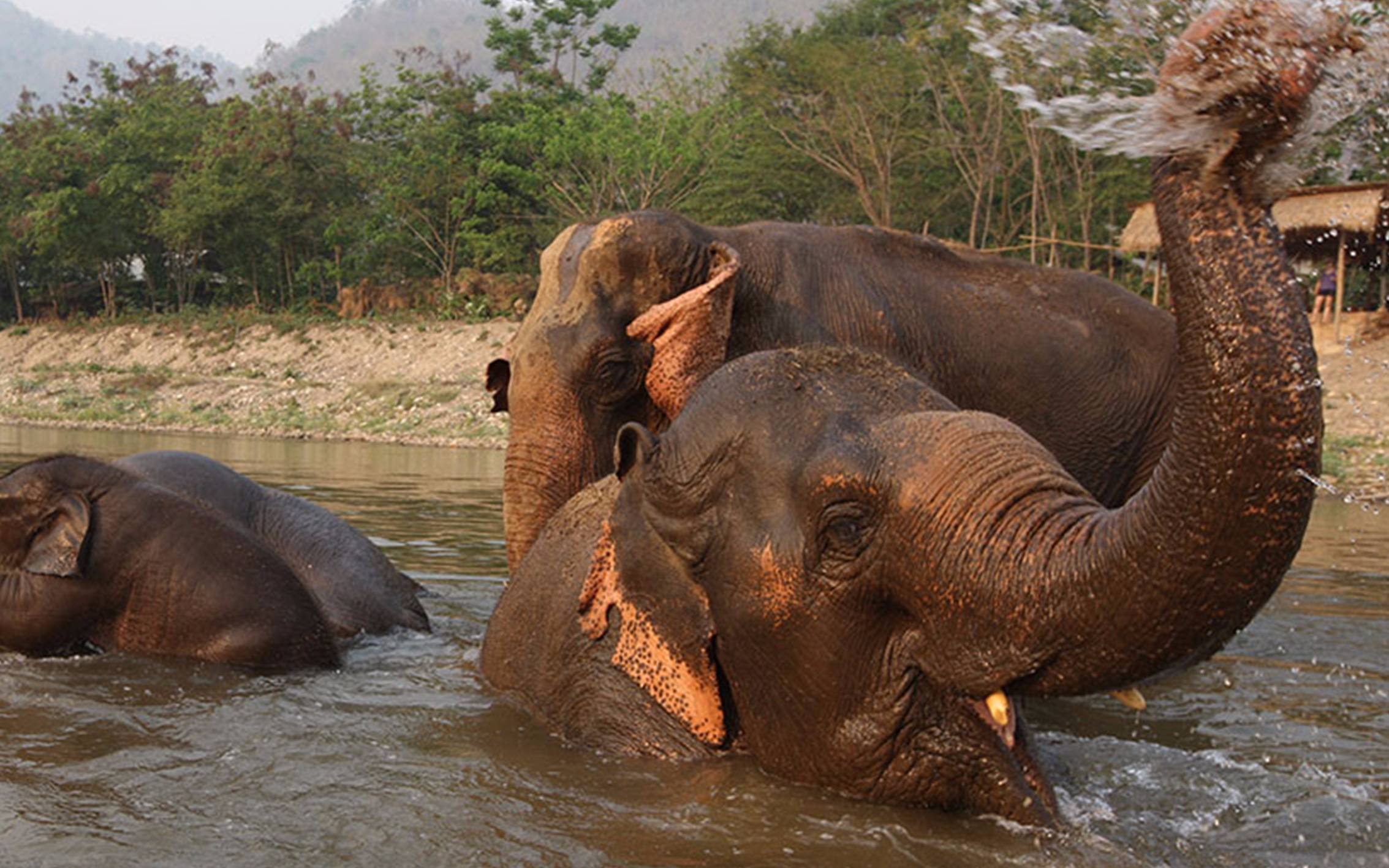 Top 10 Places Swimming With Elephants in Thailand
