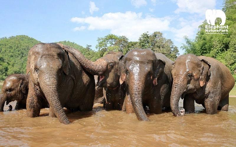 Elephants swim and bath with their favoured elephant groups.