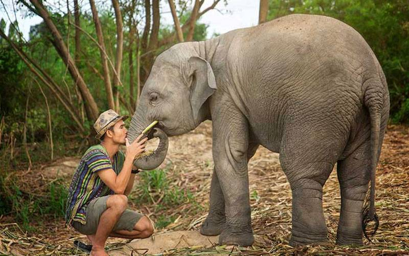 Elephant feels peace with human in natural environment.
