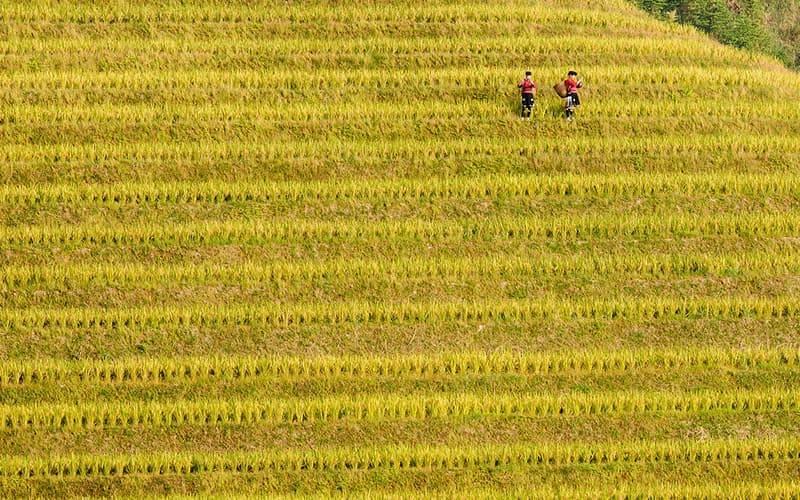 Longji Rice Terraces
