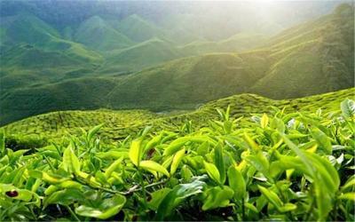 Cameron Tea plantation