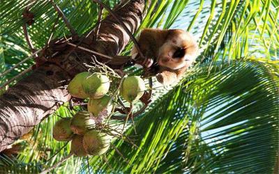 Monkey Plucking Coconut